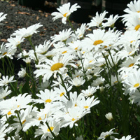 Daisies - English, Shasta, etc.