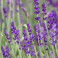 Lavender-English.jpg