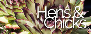 Sempervivum Hen & Chick Plants