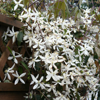 Clematis-Evergreen.jpg