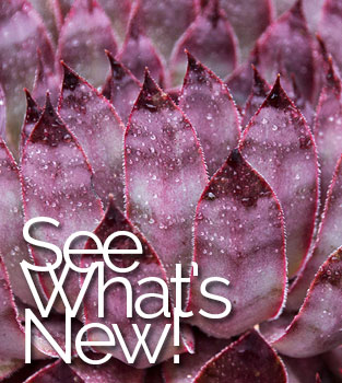 New Succulent Varieties