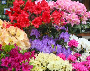 Rhododendron Selection