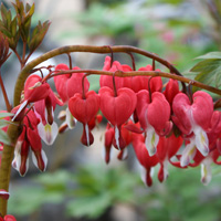 Bleeding-Heart-Valentine.jpg