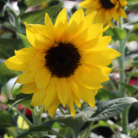 Sunflower-IMG_6982.jpg