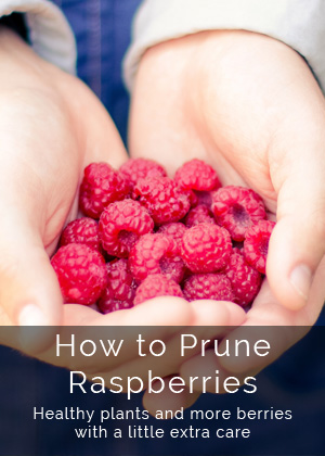 Raspberry Pruning Guide