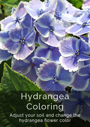 How to Change Hydrangea Coloring