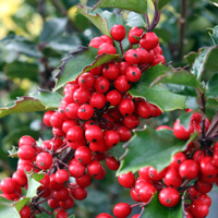 Holly-berries2.jpg