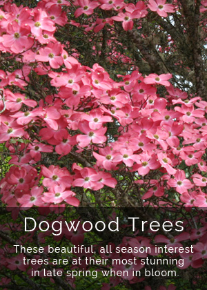 Youngs Plants - Dogwood