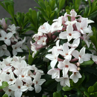 Daphne-Eternal-Fragrance.jpg