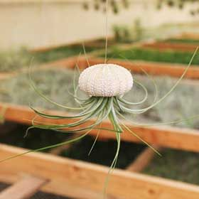 Tillandsia Air Plants For Sale